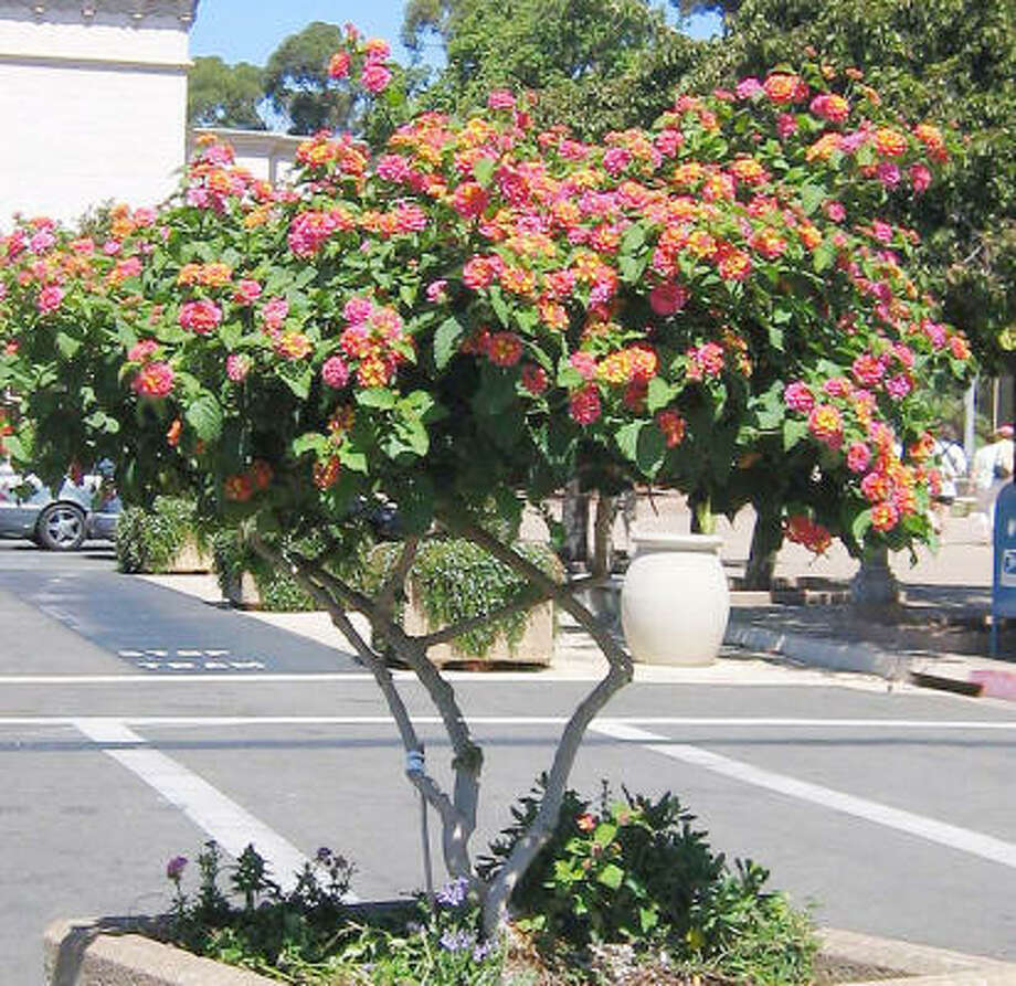 "Pruning a lantana into a tree is called creating a ""standard."" Photo: Brenda Beust Smith"