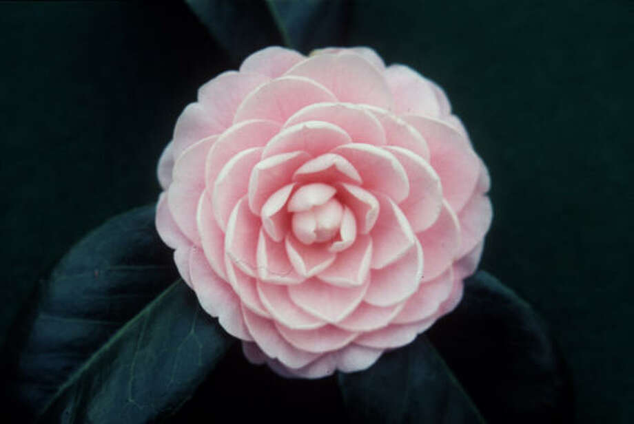 Camellia japonica 'Pink Perfection' is a classic in Houston gardens. Photo: G.E. Davis, COURTESY Photo