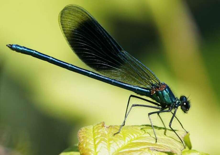 A dragonfly is the Master Naturalist symbol. Photo: STEFFEN SCHMIDT, ASSOCIATED PRESS