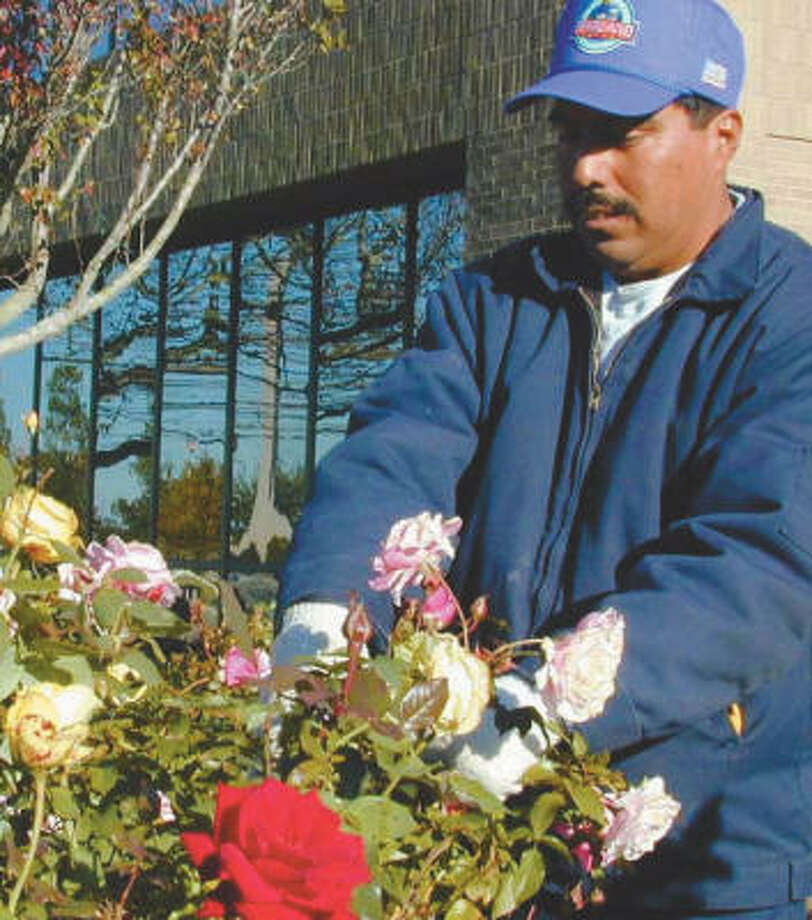 Pearland Parks and Recreation employee Tomas Martinez prunes the roses near City Hall in 2002. Photo: Wendy Rudnicki, For The Chronicle