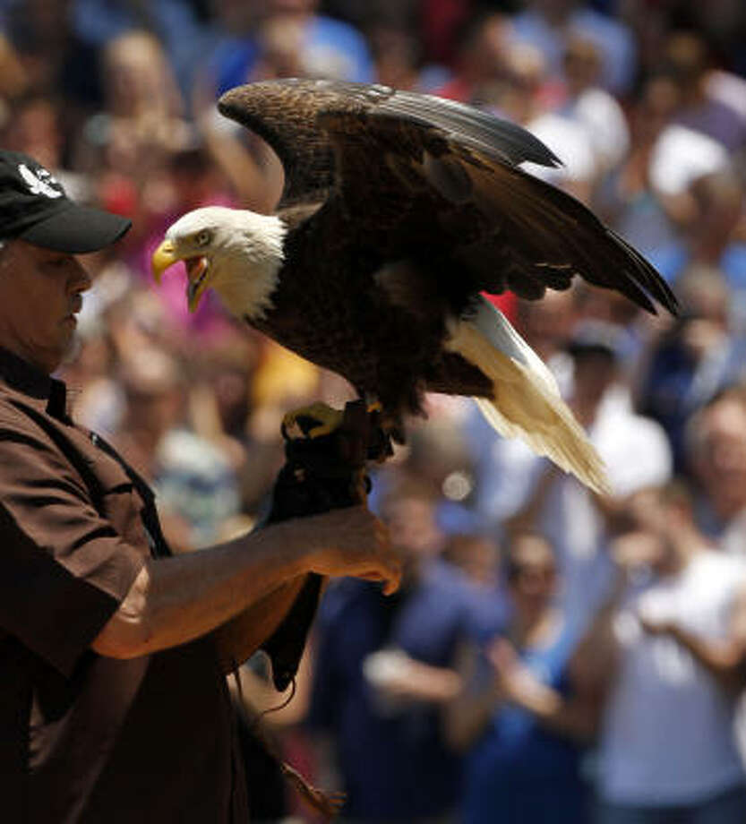 Challenger, an American bald eagle, lands in his handlers hands as part of a pre-game Memorial Day ceremony. Photo: Phil Velasquez, Chicago Tribune
