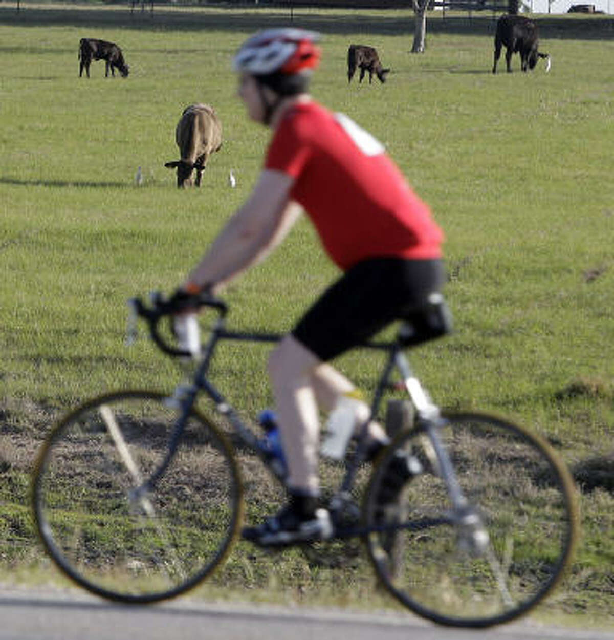 A cyclist passes grazing cattle.