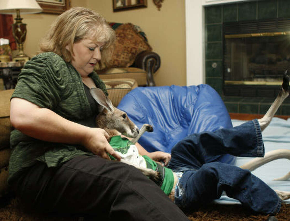 In this March 30, 2011 photo, Christie Carr dresses her kangaroo, Irwin, in a shirt and pair of blue jeans in her home, in Broken Arrow, Okla., before going out to visit a nursing home. Carr suffers from depression and has found solace in Irwin, but local city officials worry that the partially paralyzed therapy pet could become a public safety risk.