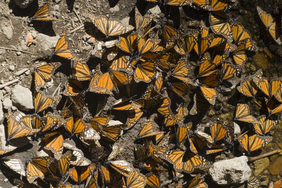 To escape the mortal winters of their native habitats in the United States and Canada, Monarch butterflies migrate annually to the Sierra Madre mountains of western Mexico, a journey of some 2500 to 4000 miles. Arriving by mid-November, they winter in the states of Michoacan and Mexico, before returning north around the first week of March. Photo: Keith Dannemiller, For The Houston Chronicle
