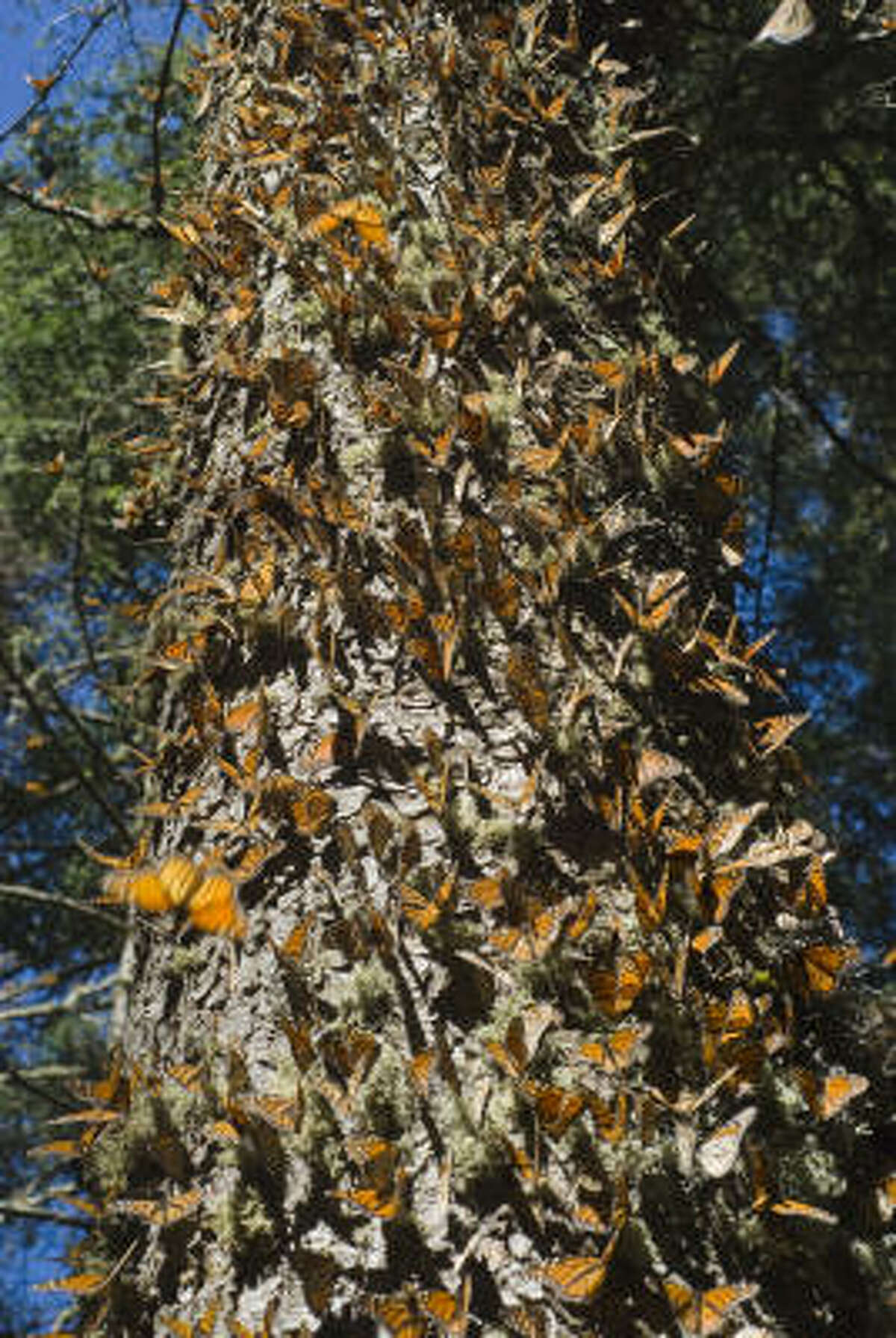To escape the mortal winters of their native habitats in the United States and Canada, Monarch butterflies migrate annually to the Sierra Madre mountains of western Mexico, a journey of some 2500 to 4000 miles.