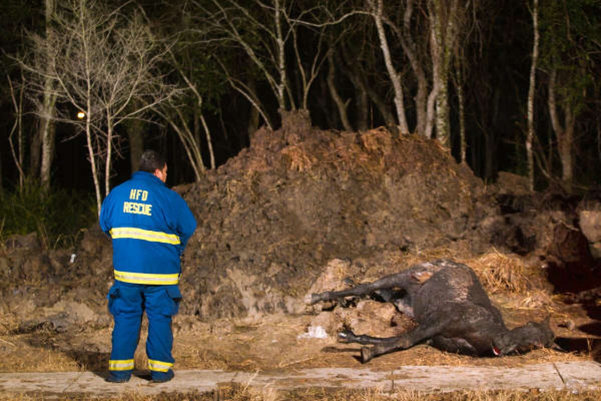 A Houston firefighter stands over the remains of a horse officials attemped to rescue after it fell into a manhole on Scott street just south of Airport.