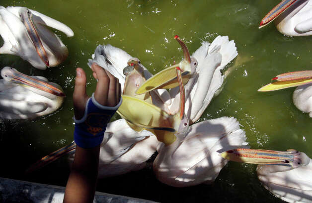 An Egyptian boy feeds fish to pelicans at Giza Zoo, in Giza, Egypt on Saturday, July 30, 2011. Photo: Amr Nabil/Associated Press / AP