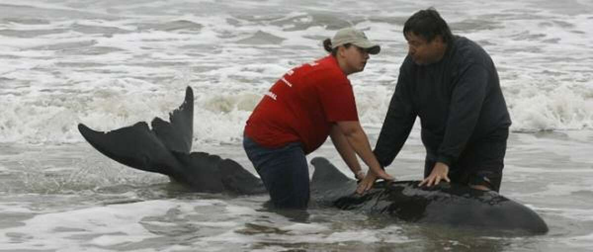 Keith Wilkins, right, and a Mammal Stranding Network volunteer stabilize a pygmy sperm whale on the West End of Galveston Wednesday.