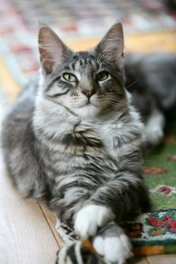 Maine Coon Cat Needs Gentle Care Houston Chronicle