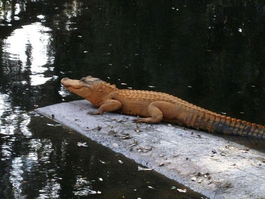This Jan. 5 photo provided by Sylvia Mythen shows an alligator with an orange appearance in Venice, Fla. Photo: AP