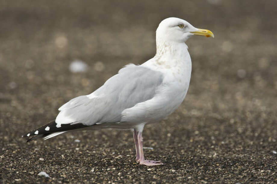 Gulls, such as this herring gull, have tremendous variability in plumage as they age, but that makes identification fun. Photo: Kathy Adams Clark