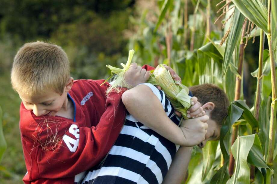 Brothers Joshua,9 and Jacob Kimberly, 10 wrestle with an ear of corn on their family farm in New Milford, Thursday, Oct. 1, 2009 Photo: Carol Kaliff / The News-Times