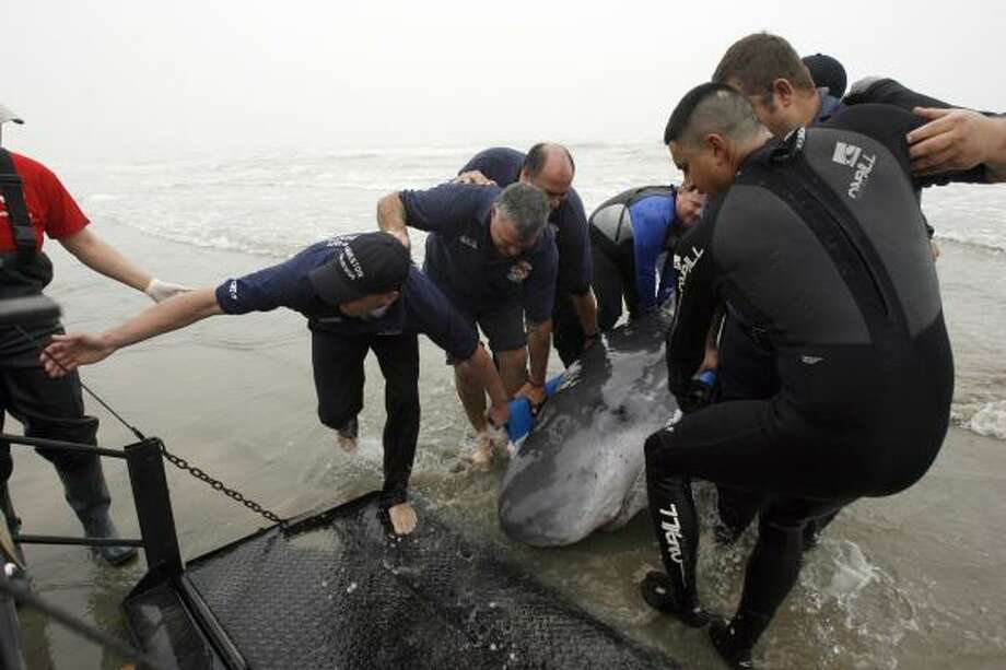 Volunteers attempt to rescue a pygmy sperm whale beached in Galveston today. Photo: Jennifer Reynolds, Galveston Daily News