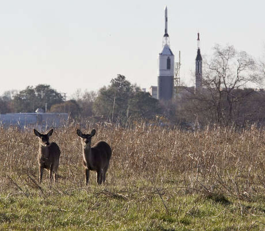 Deer can be found grazing at NASA's Johnson Space Center. Photo: James Nielsen, Houston Chronicle