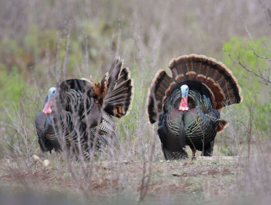 Drought-triggered effects have made this a tough spring turkey season for many hunters. Photo: Les Tompkins, For The Chronicle
