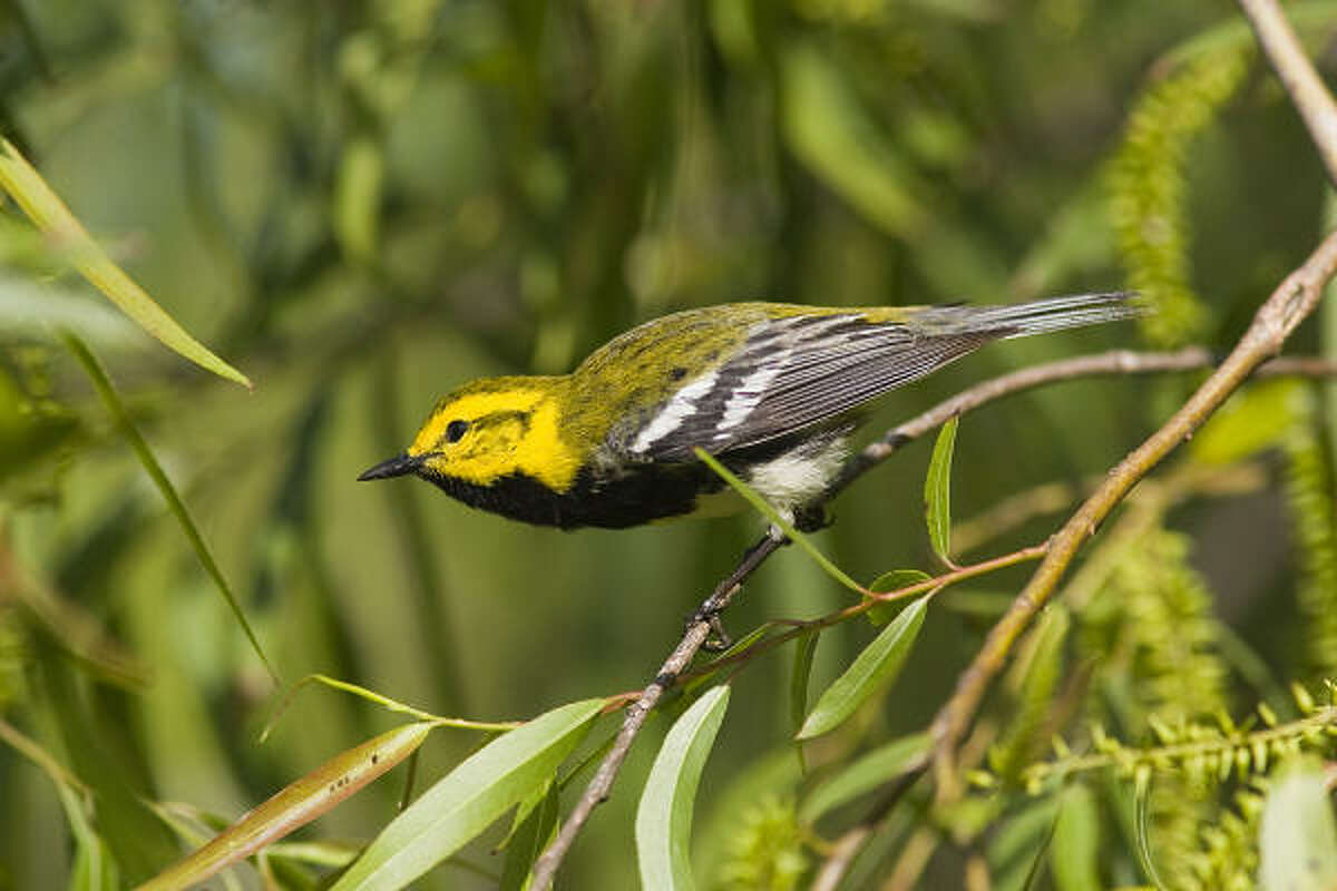 Black-throated green warblers are some of the first spring migrants to arrive in the state.