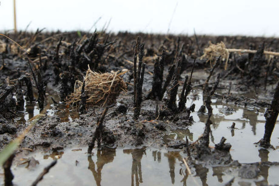 Despite their foreboding first impression, the blackened marshes of Bay Jimmy, La., do show an occasional shoot of green emerging from the oil-soaked mud, muck and vegetation. Photo: James Nielsen, Chronicle