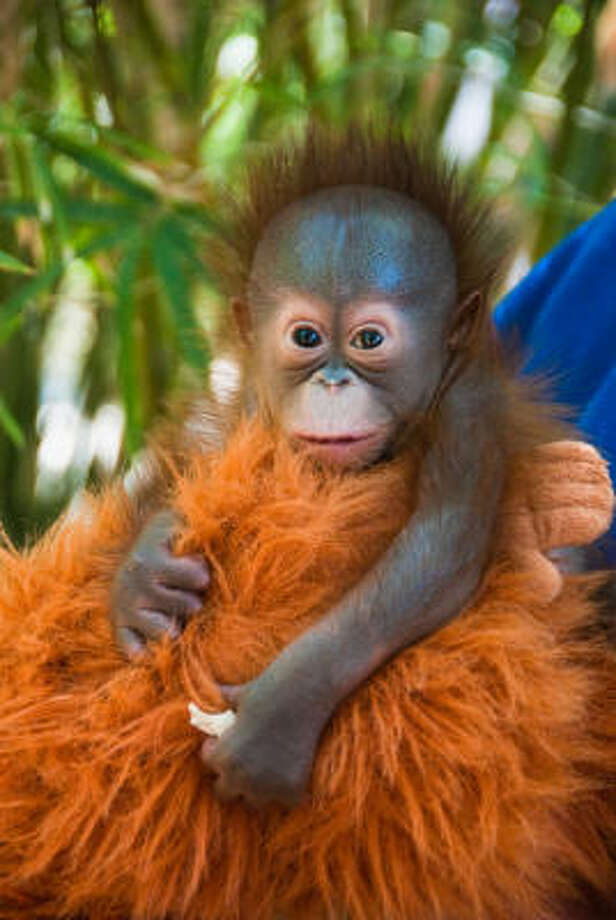 Kelly's baby girl, born March 2 at the Houston Zoo, clings to imitation orangutan fur. Photo: Houston Zoo