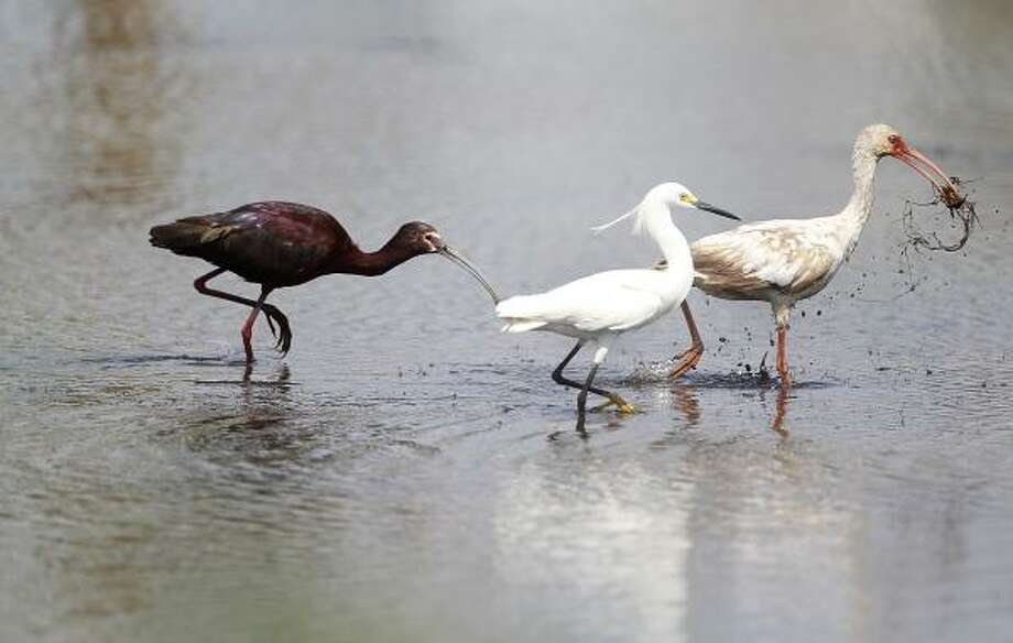 Birds seek food at Anahuac refuge. Officials feared the storm-ravaged coastal parks would take seven years to recover, but it has taken less time and money than first thought. Photo: Mayra Beltran, Chronicle