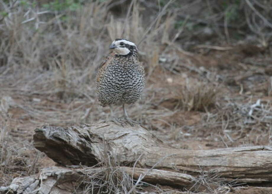 Drought conditions across Texas have meant tough times for bobwhite quail, turkey and other ground-nesting birds dependent on healthy grasses and other ground cover. Photo: Shannon Tompkins, Chronicle