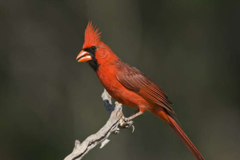 The songs of male birds, such as this northern cardinal, tell us that spring is in the air. Photo: Kathy Adams Clark