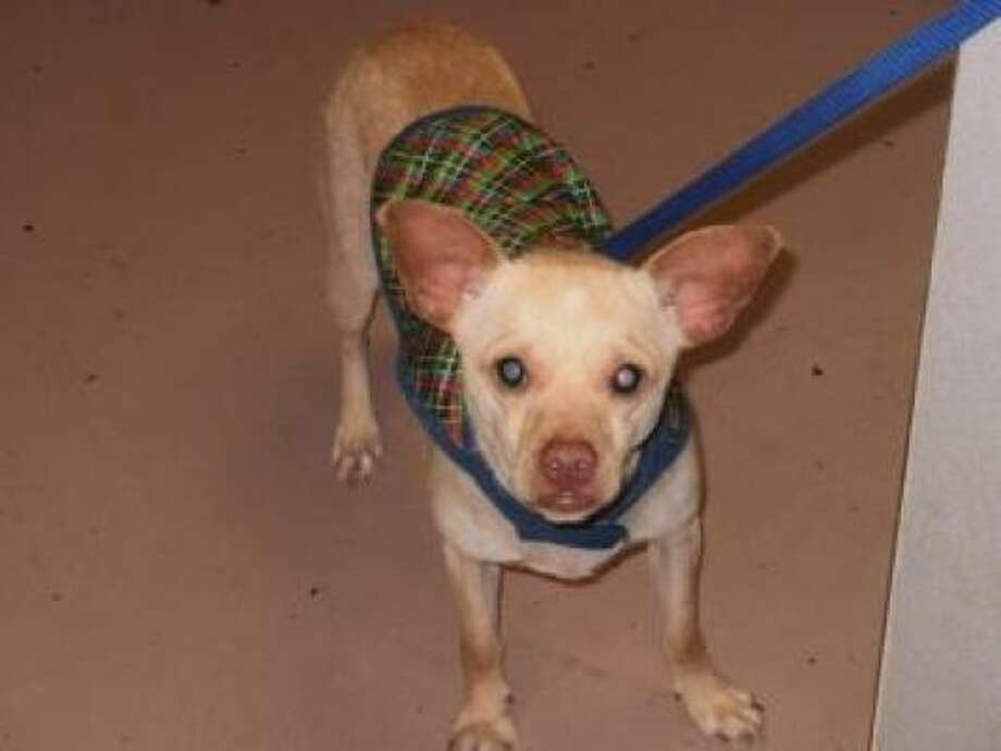 Cash was flown to the Houston SPCA from L.A. to find a new family. Photo: Houston SPCA