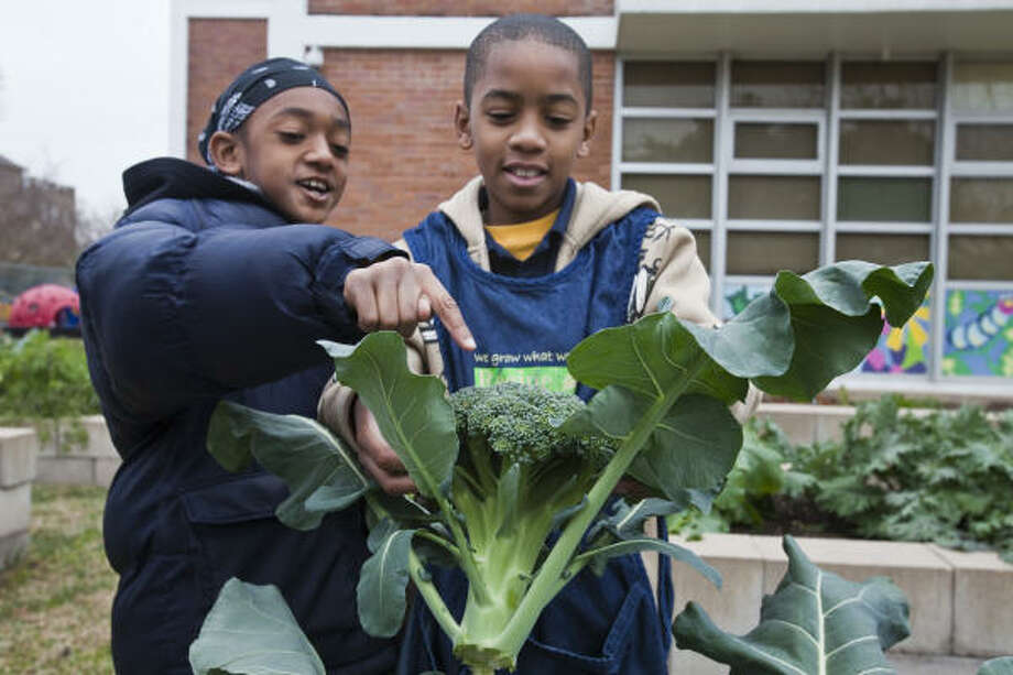 Fourth-grade MacGregor Elementary students Heru Burkett, left, and Justin Green, both 9, inspect broccoli they just harvested in their Recipe for Success garden. Photo: Eric Kayne, For The Chronicle