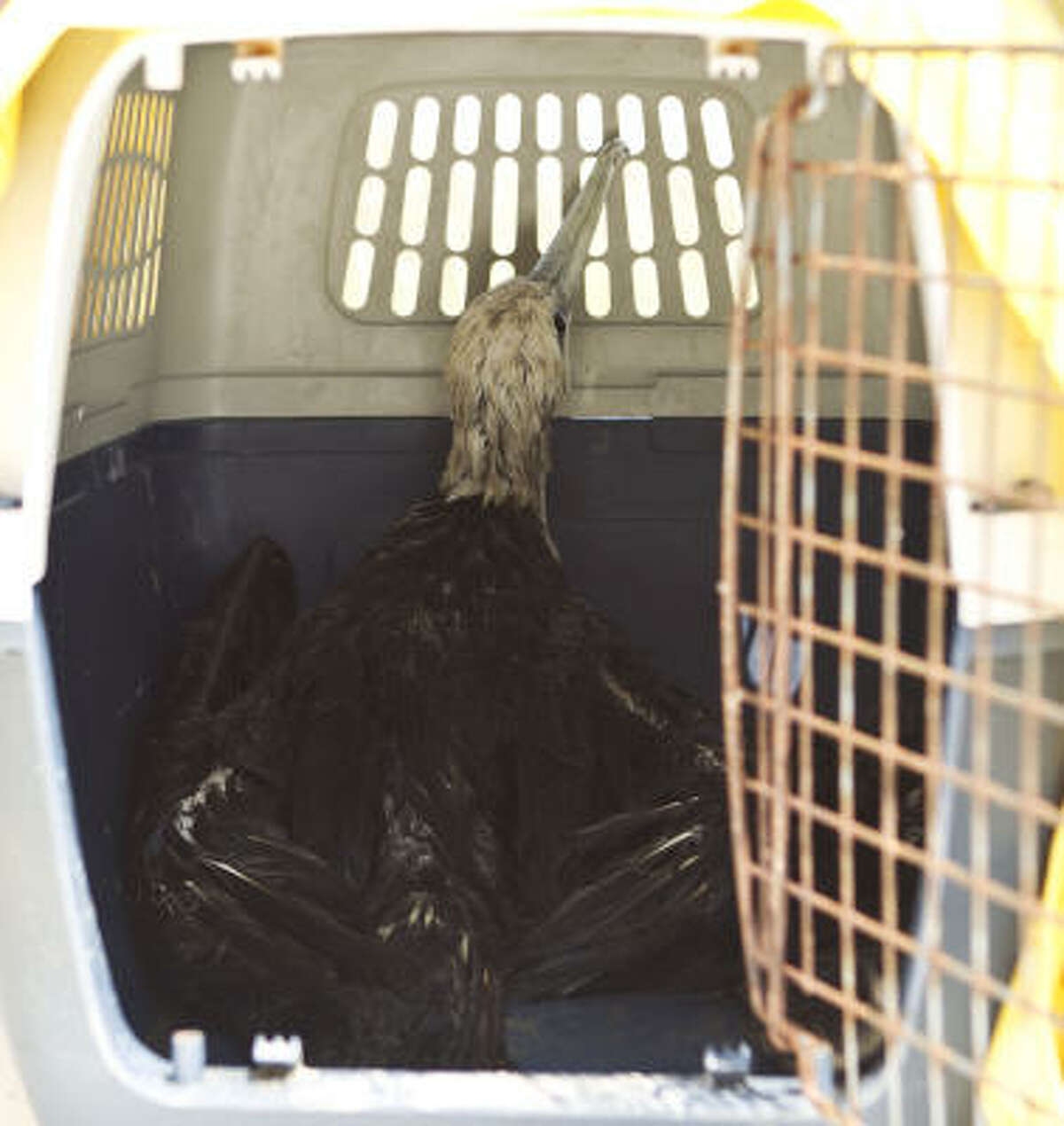Soaked by oil, a captive frigate bird in the care of the Louisiana Department of Wildlife and Fisheries shows the effects of the BP Deepwater Horizon tragedy early this month in Port Sulphur, La. The government banned deep-water drilling for months after the blowout and fatal explosion.