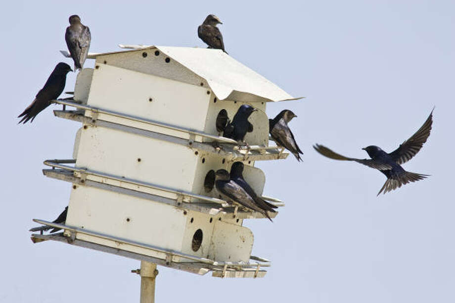 Purple martins are returning to the area. Now is the time to install a house or clean existing houses. Photo: Kathy Adams Clark