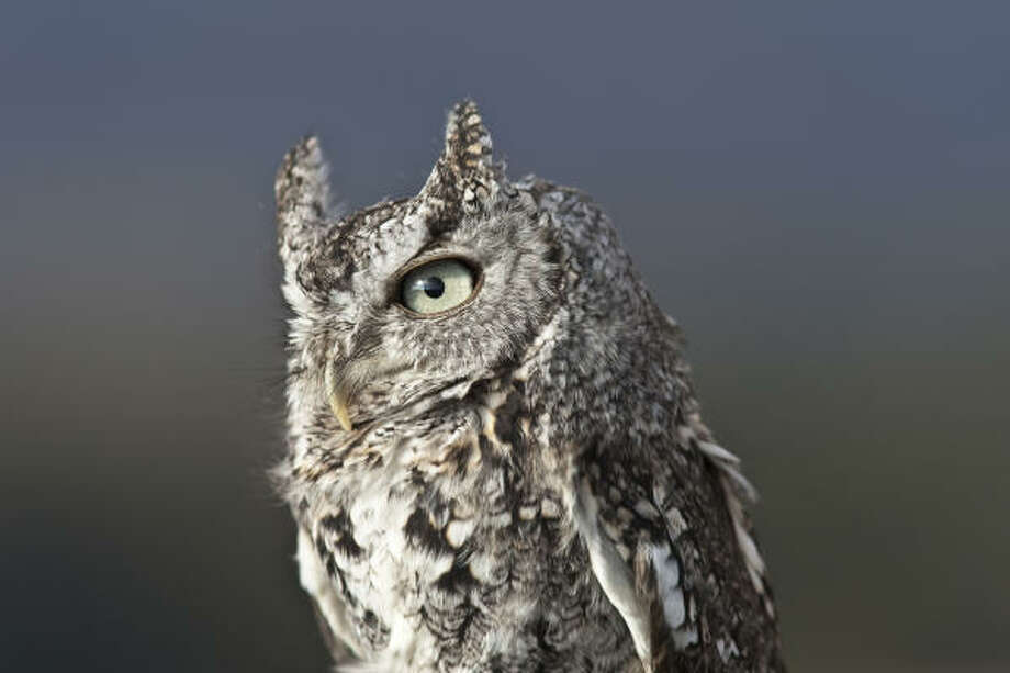 Eastern screech owls are no bigger than a soda can and are well camouflaged against tree bark. Photo: Kathy Adams Clark