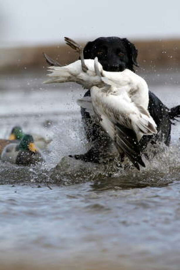 The flooded timber and adjacent prairie wetlands near Stuttgart, Ark., have historically been the center of some of the nation's finest duck hunting, but snow and whitefront geese have added to the area's waterfowling experience. Photo: Shannon Tompkins, Chronicle