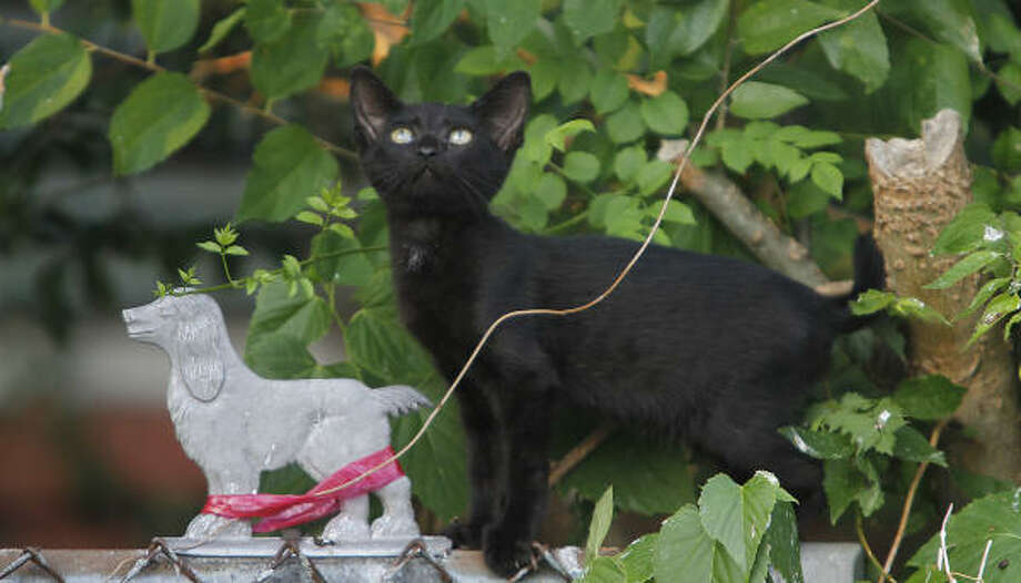 This cat is part of a colony of felines that roam the 2700 block of Crocker, where they are fed by Montrose bar owner Charles Armstrong. Photo: Karen Warren, Chronicle