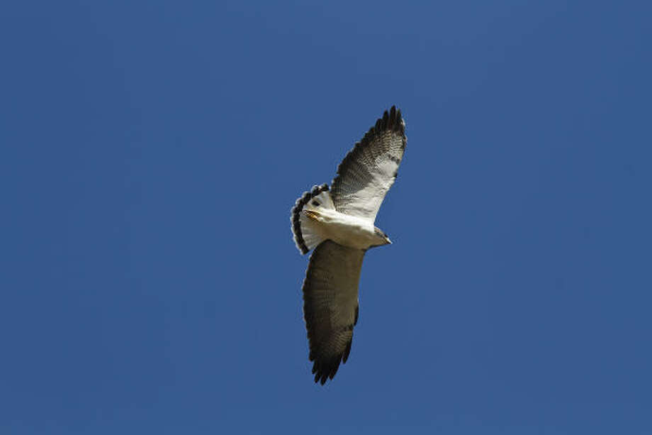 A majestic white-tailed hawk soars over the open country of South Texas. Photo: Kathy Adams Clark