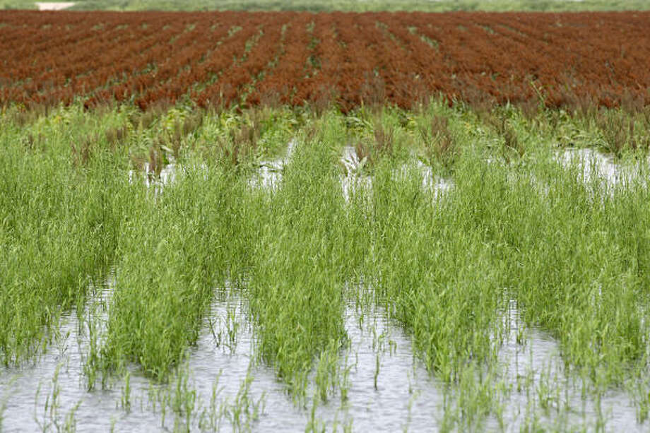 Hurricane Alex's visit to the Valley has left water standing in fields such as this one in northern Cameron County. The continuing rain from the storm system will endanger more than $20 million worth of row crops if it doesn't let up soon. Photo: Jerry Lara :, San Antonio Express-News