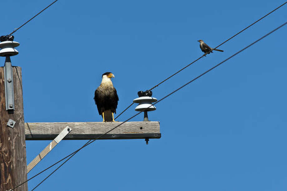 The Breeding Bird Survey counts birds, such as this crested caracara and Northern mockingbird, along a predesignated 24.5-mile route. Photo: Kathy Adams Clark