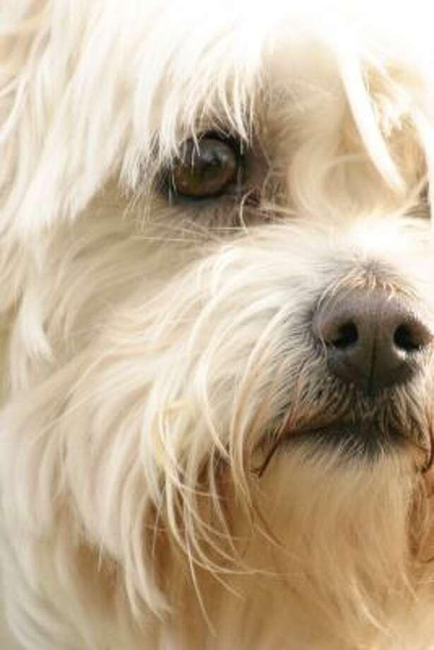 A maltese terrier Photo: Fotolia