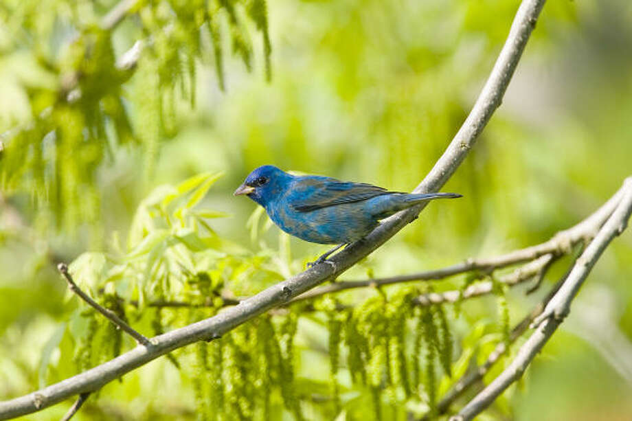 Indigo buntings have arrived in Texas. Some will stay to breed during the summer, and some will move on to other parts of the country. Photo: Kathy Adams Clark