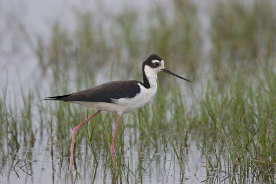 Black-necked stilts are among the birds that make a home at the Anahuac National Wildlife Refuge. Photo: Kathy Adams Clark