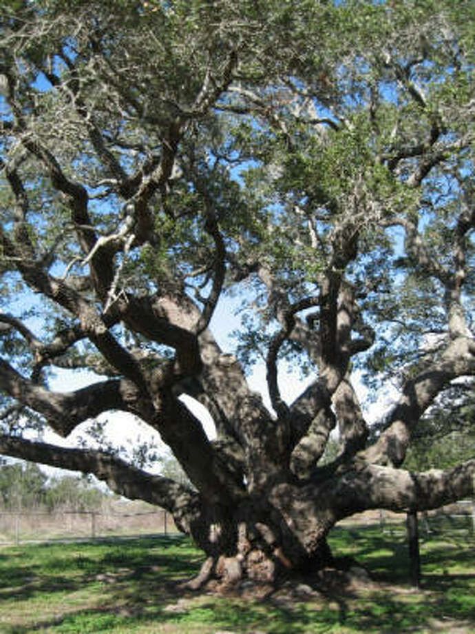 A major draw to Goose Island State Park is the Big Tree, a 44-foot-tall coastal live oak believed to be more than 1,000 years old. Photo: Kristin Finan, Chronicle