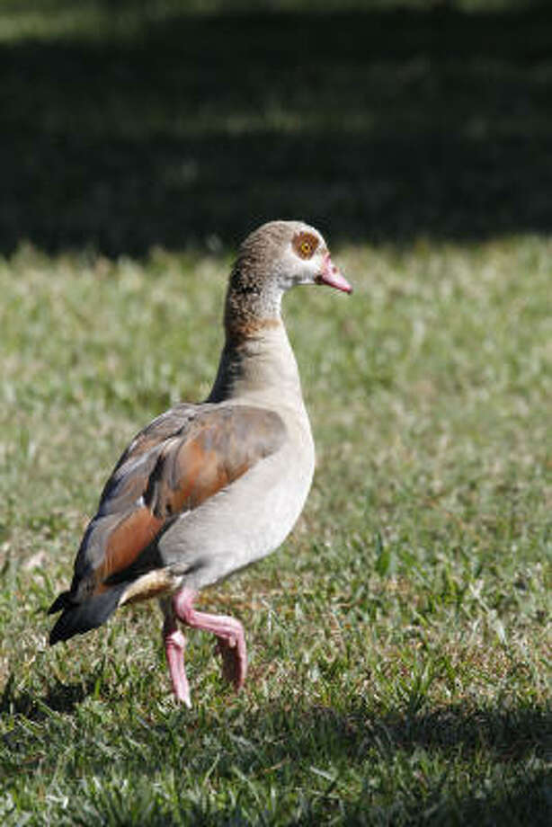 Native to Africa, Egyptian geese have established feral colonies in many areas. The non-native waterfowl are not protected by state or federal laws. Photo: Shannon Tompkins, Chronicle