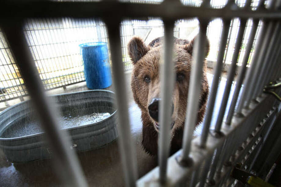Betsy the bear, rescued four years ago from a chicken coop in Gonzales County, was feted Tuesday by the Houston SPCA on her last day before flying off to a life of ease at the Zarnesti Bear Sanctuary in the Transylvania region of Romania. Photo: Mayra Beltran, Chronicle
