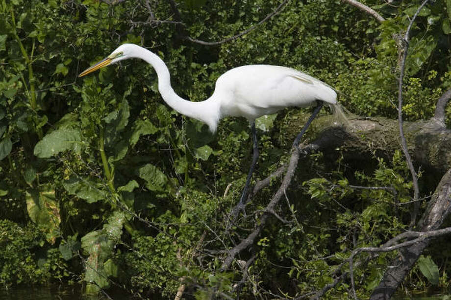 The bayous of southeast Texas are home to a wide variety of wildlife like this great egret. Photo: Kathy Adams Clark