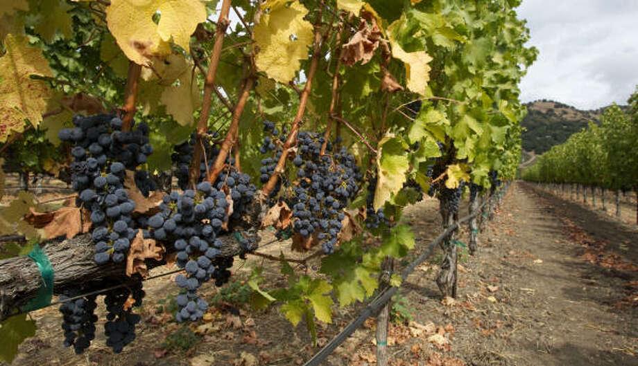 The Cliff Lede Winery's vineyard Photo: Brett Coomer :, Chronicle