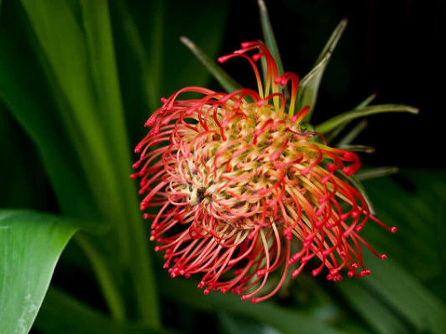 Pincushion protea Photo: Wwarby, Flickr.com