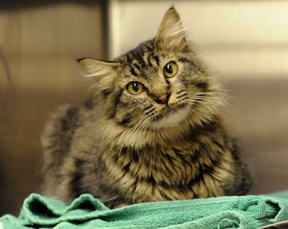 Charles the cat traveled 1,300 miles from his home in New Mexico to Chicago, where he was picked up as a stray. He waits at Chicago Animal and Control in Chicago on Friday. Charles' life was spared when staff at Chicago Animal Care and Control found a microchip between his shoulders and used it to contact his owner, Robin Alex of Albuquerque. Photo: David Banks, AP