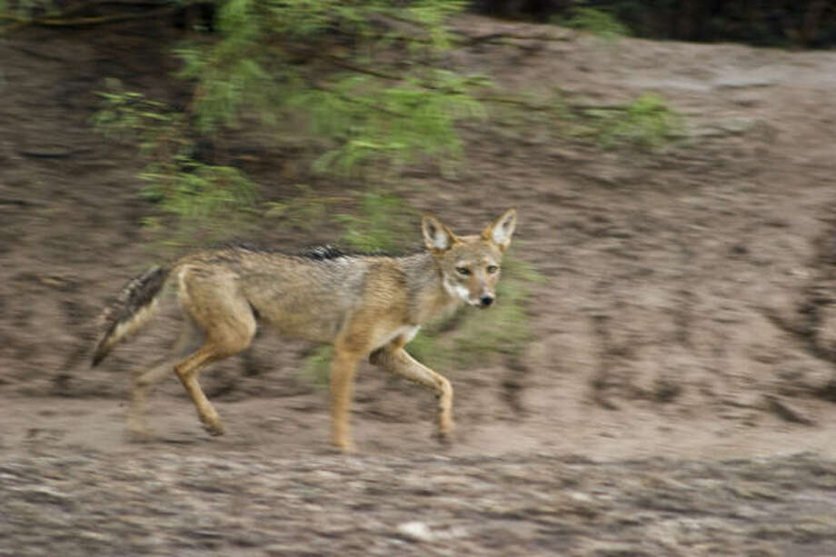 Coyotes have a complex relationship with the human world from Alaska to Central America. Photo: Kathy Adams Clark