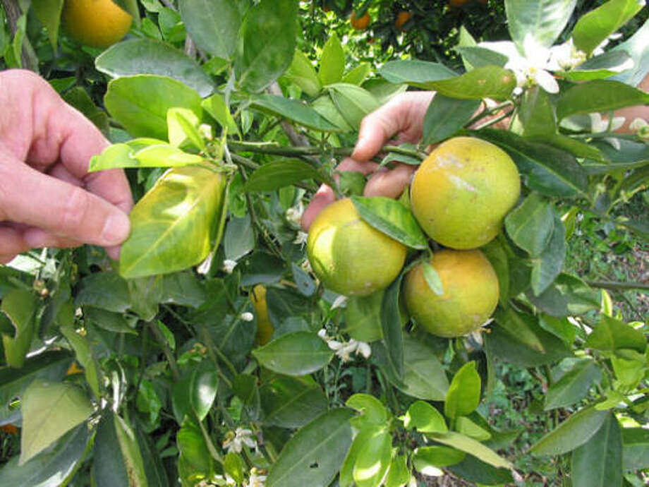 Agriculture officials are concerned about a plant disease, citrus greening, that could be moving up from Mexico and nearing the Rio Grande Valley. These affected plants are in Florida. Photo: Courtesy Photo