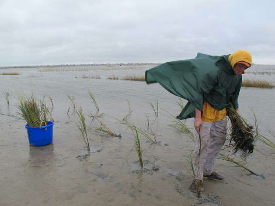 Thor Lassen, of Ruston, Va., plants smooth cordgrass Saturday at Galveston Island State Park as part of a group of Restore America's Estuaries national conference attendees. Photo: Melissa Phillip, Chronicle