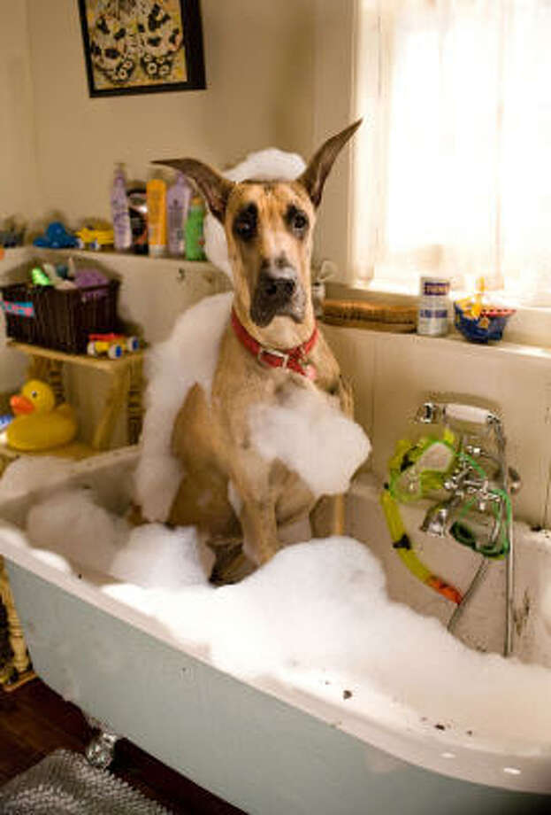 Marmaduke cleans up after a day of play. Photo: Joseph Lederer, AP