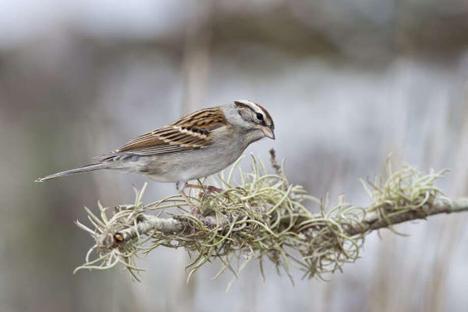 Chipping sparrows in a variety of different plumages are visiting the area for the winter. Photo: Kathy Adams Clark